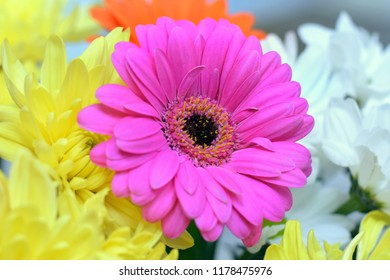 Purple flower with yellow center images stock photos vectors purple gerbera flower with black center surrounded yellow and white chrysanthemums mightylinksfo
