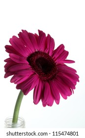 Purple gerbera flower  Isolated on white