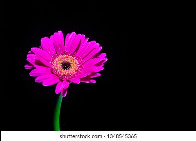 Purple Gerbera - isolated - dark background