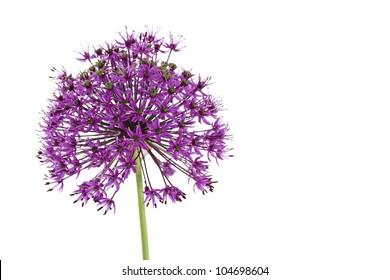 Purple Giant Allium