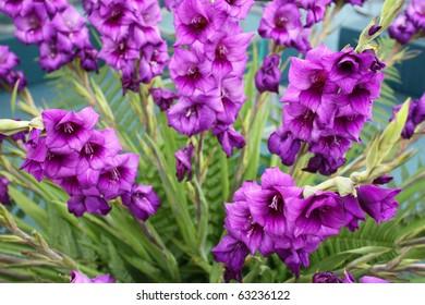 Purple gladioli flowers