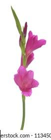purple Gladiolus flower on white background