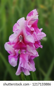 purple gladiolus growing on a green background in the garden, beautiful purple gladiolus, a beautiful flower of purple gladiolus, the inflorescence of purple gladiolus blooms in summer, the bloomin