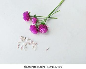 Purple Globe Amaranth flowers with globe amaranth's seeds