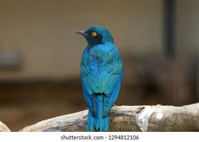 Purple glossy starling Bird