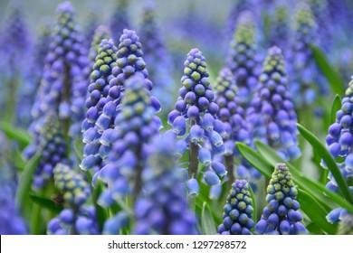 Purple grape hyacinths