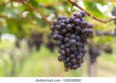 Purple grape vines fruits in a vineyard