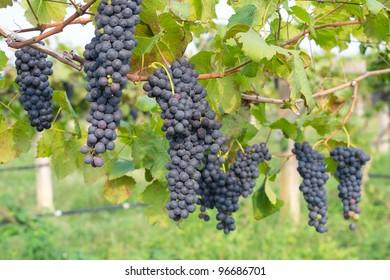 Purple grapes growing on vine