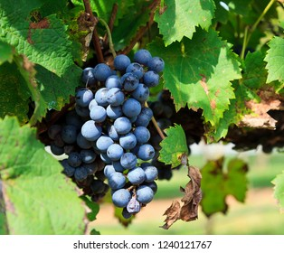 Purple Grapes Ready to Harvest Hanging on a Grapevine