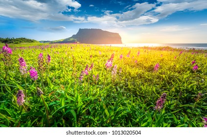 Purple grass flower at Ilchulbong mountain,Jeju island,South Korea