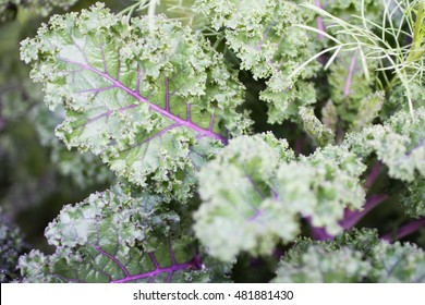 Purple and green decorative cabbage on a flowerbed
