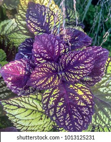 purple and green fishnet stocking coleus