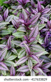 Purple and green persian shield leaves.