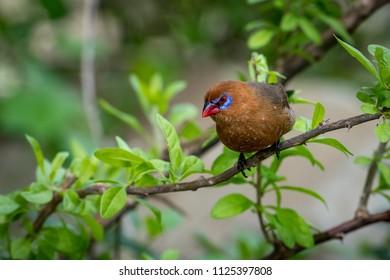 Purple grenadier on leafy branch looking down