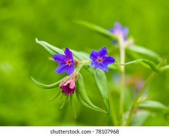 Purple Gromwell (Lithospermum purpurocaeruleum)
