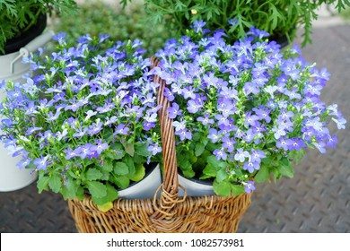 Purple gypsophilia are blooming in spring, gypsophytes are small, lovely flowers, gypsophy are in brown wood basket.