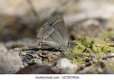 Purple hairstreak - Butterfly