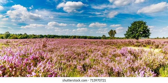 purple heath with a blue sky with clouds