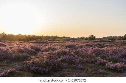 Purple heather in bloom, heathland in Staatsbossen St. Anthonis. Sunset on the heath.