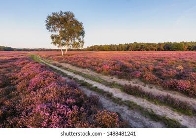 Purple heather blooming at Westerheide, Hilversum, The Netherlands. Dirt road crossing the field diagonally.