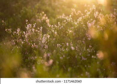 Purple heather flowers in the forest with light flare and shallow depth of field