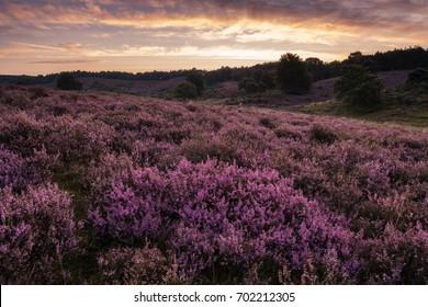 Purple heather hills in bloom of the Posbank Veluwe national park Rheden, Before sunrise with soft pink clouds, Bloomin heather hills Dutch landscape Veluwe Netherlands