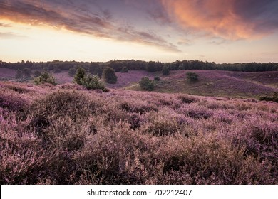 Purple heather hills in bloom of the Posbank Veluwe national park Rheden, Before sunrise with soft pink clouds, Bloomin heather hills Dutch landscape Veluwe Netherlands