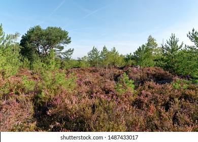purple heather land in Fontainebleau forest - Shutterstock ID 1487433017