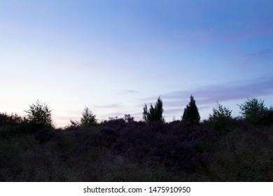 Purple heather in light of the rising sun in Boswachterij Ruinen, the Netherlands