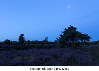 Purple heather with moon on the Dwingelderveld, the Netherlands