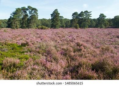 Purple heather on the Dwingelderveld, the Netherlands