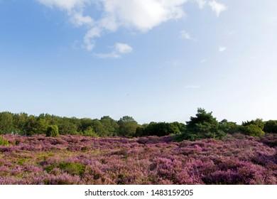 purple heather on the Mantingerzand, the Netherlands