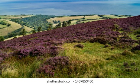 Purple heather painting the slopes of Exmoor in Somerset, England.
