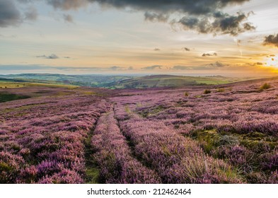 Purple Heather in the Peak District National Park