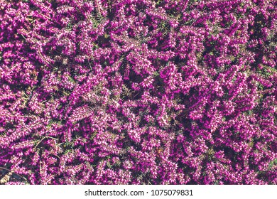 Purple heather plant in the garden with selective focus. Heather background.