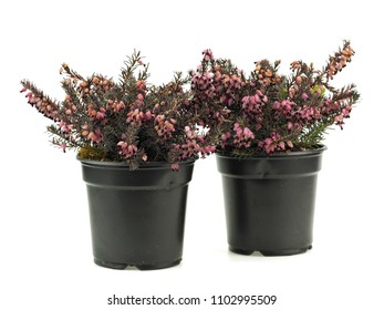 Purple heather plant in plastic pot on a white background