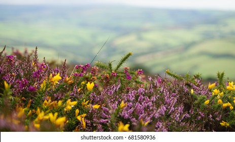 Purple Heather and yellow gorse adorn the moorland of south west England with their show of colour on the heaths and uplands