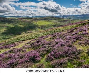 Purple Heather-covered Hillside, Black Meldon Hill, Scottish Borders