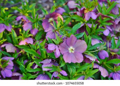 Purple hellebore flower of the helleborus hybridus (Christmas or Lenten rose) growing  in the spring garden - Shutterstock ID 1074655058