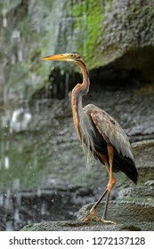 Purple Heron - Ardea purpurea, beautiful large heron from worldwide freshwater, lakes and rivers, Bali, Sumatra.