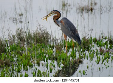 Purple heron (Ardea purpurea) has caught a fish, salt marshes of the Venice lagoon