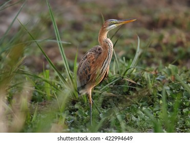 Purple Heron, Ardea purpurea, standing in reed on the bank of Nile river close to Murchison Falls, Uganda.