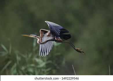 Purple Heron in flight, closeup view