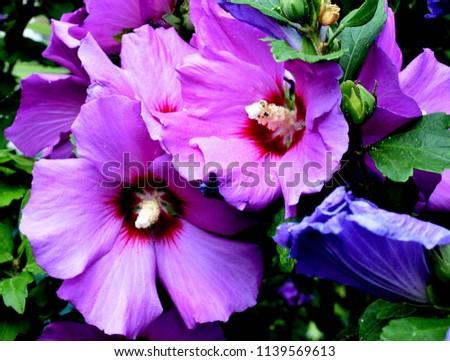 Purple Hibiscus Flower Stock Photo Edit Now 1139569613 Shutterstock