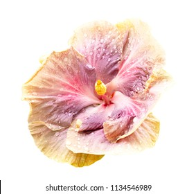 Purple hibiscus flower isolated on white background