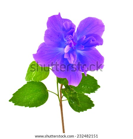 Purple Hibiscus Flower Isolated On White Stock Photo Edit Now