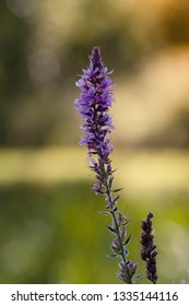 purple high moisture flower (Lythrum salicaria)