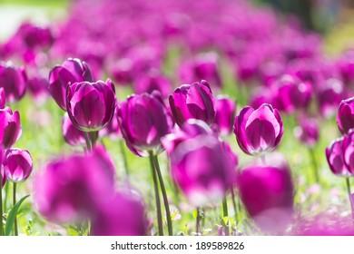 Purple Holland Tulips Field Blossom
