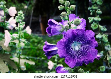 Purple Hollyhock flowers (Althaea Rosea or Alcea Rosea) blossoming on tree in the nature background
