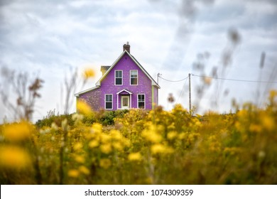 Purple house, yellow flowers. A traditional shingled house on Iles de la Madeleine, or the Magdalen Islands, in a meadow of yellow wildflowers
